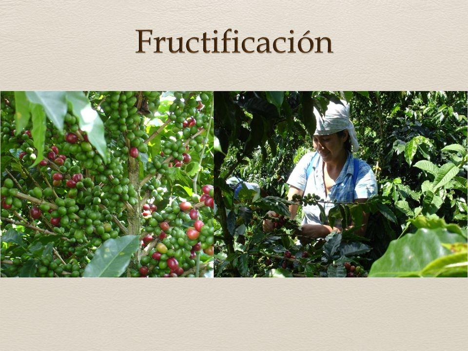 Fructificación