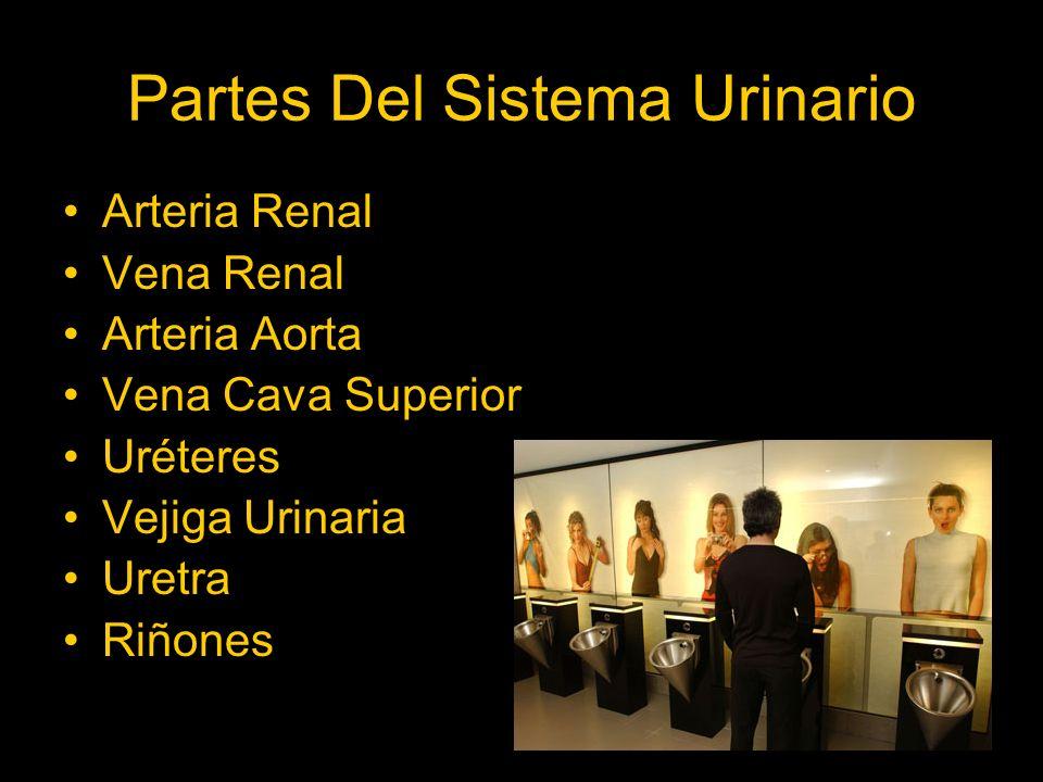 Partes Del Sistema Urinario