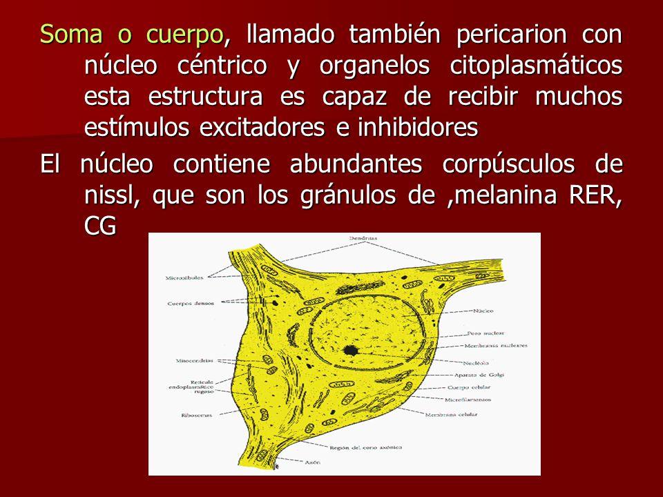 Soma o cuerpo, llamado también pericarion con núcleo céntrico y organelos citoplasmáticos esta estructura es capaz de recibir muchos estímulos excitadores e inhibidores