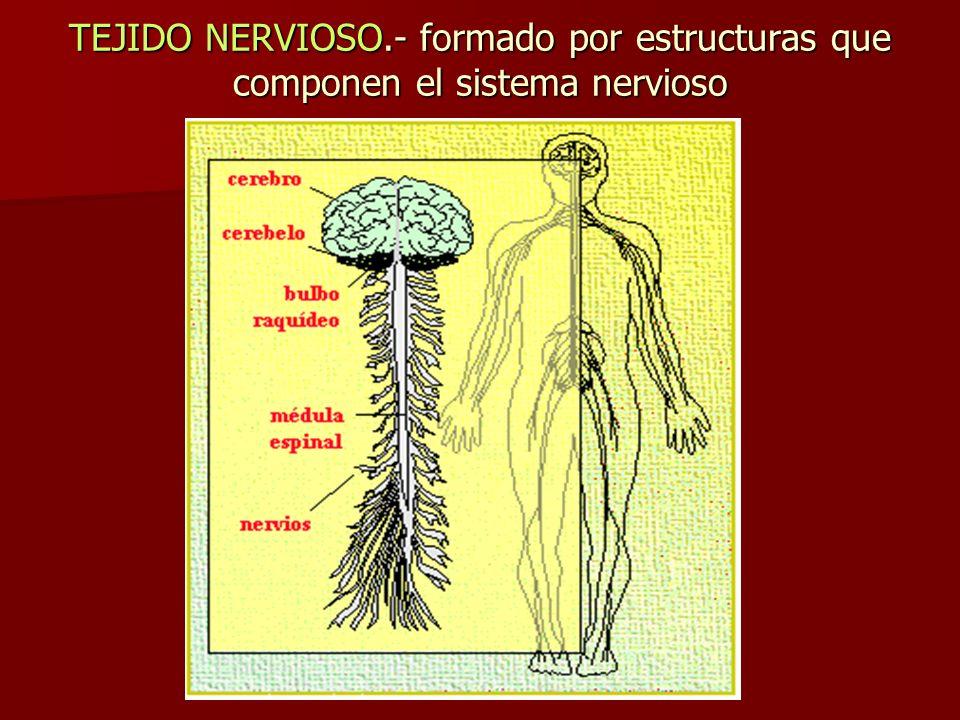 TEJIDO NERVIOSO.- formado por estructuras que componen el sistema nervioso