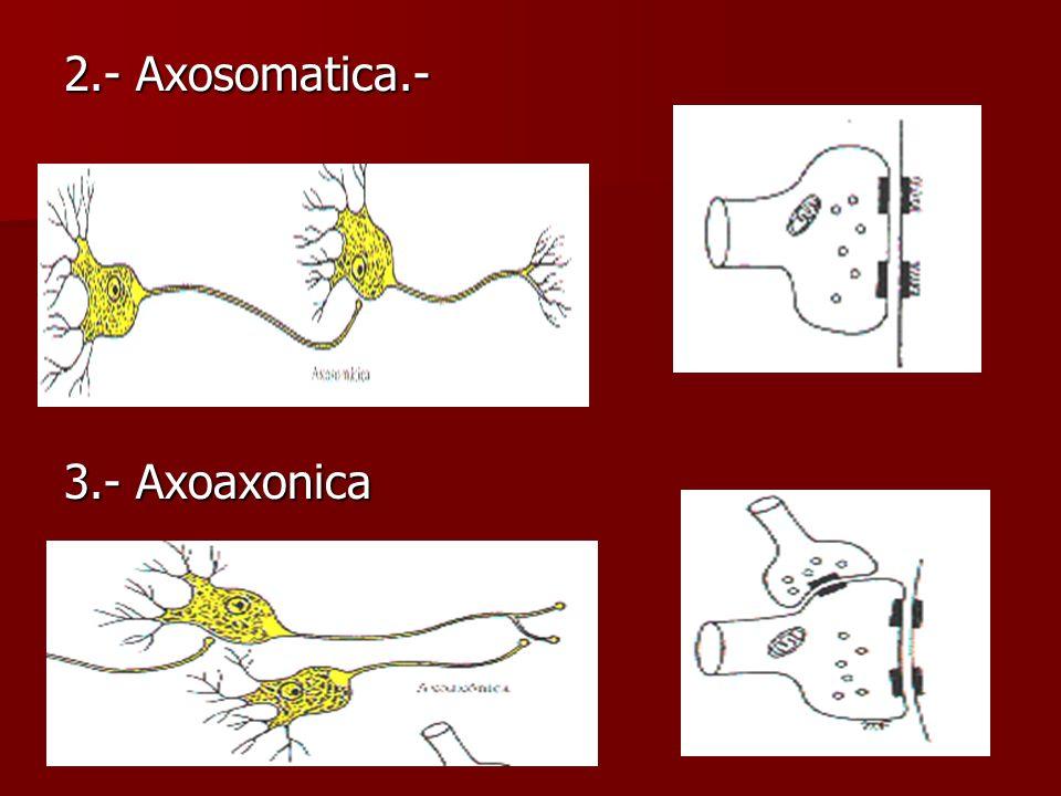 2.- Axosomatica.- 3.- Axoaxonica