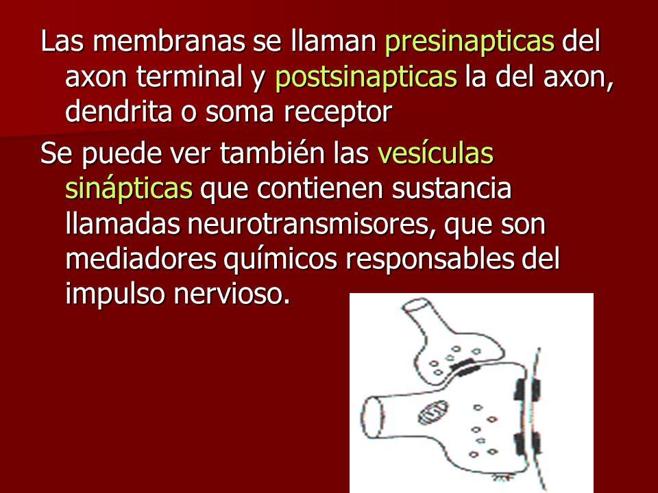 Las membranas se llaman presinapticas del axon terminal y postsinapticas la del axon, dendrita o soma receptor