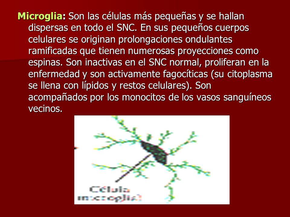 Microglia: Son las células más pequeñas y se hallan dispersas en todo el SNC.