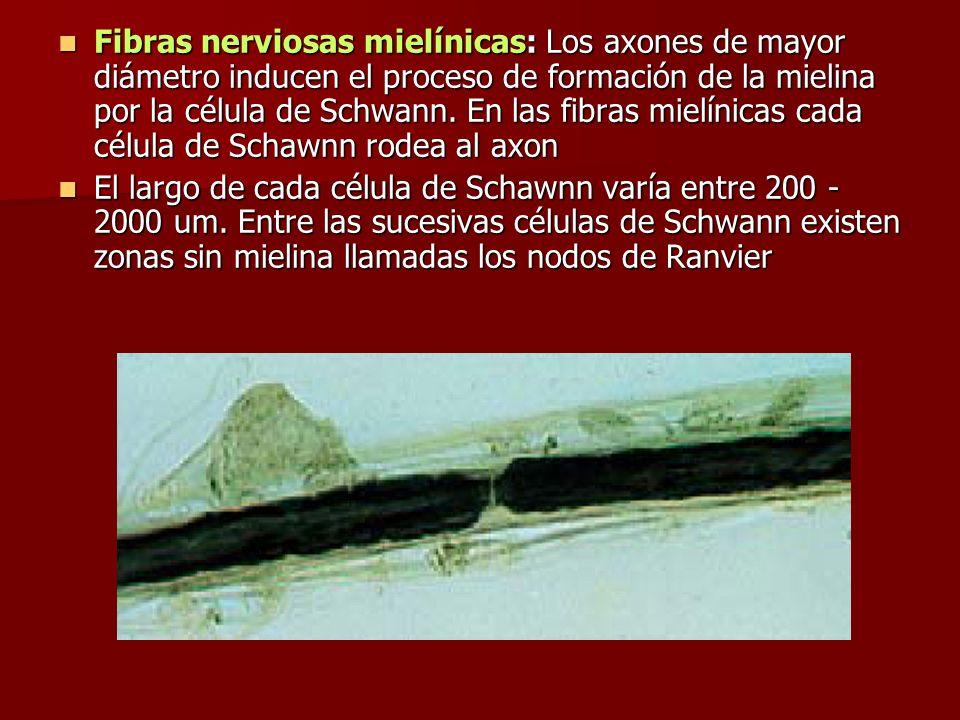 Fibras nerviosas mielínicas: Los axones de mayor diámetro inducen el proceso de formación de la mielina por la célula de Schwann. En las fibras mielínicas cada célula de Schawnn rodea al axon
