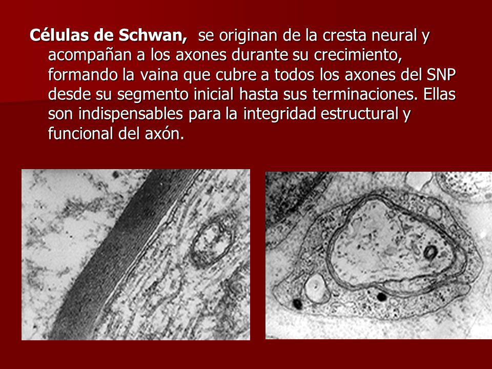 Células de Schwan, se originan de la cresta neural y acompañan a los axones durante su crecimiento, formando la vaina que cubre a todos los axones del SNP desde su segmento inicial hasta sus terminaciones.
