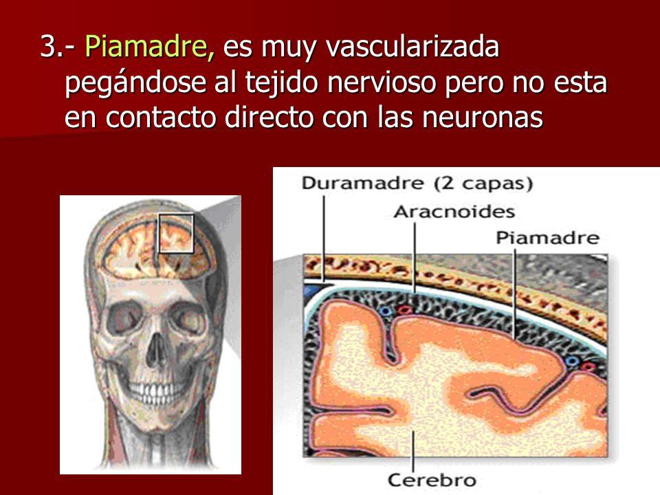 3.- Piamadre, es muy vascularizada pegándose al tejido nervioso pero no esta en contacto directo con las neuronas