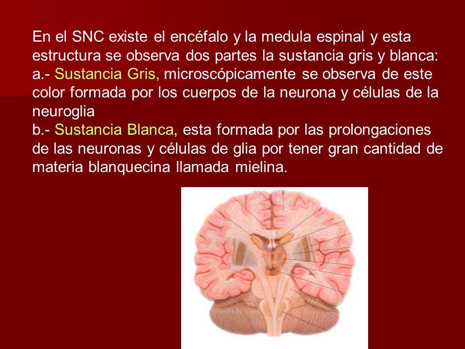 En el SNC existe el encéfalo y la medula espinal y esta estructura se observa dos partes la sustancia gris y blanca: