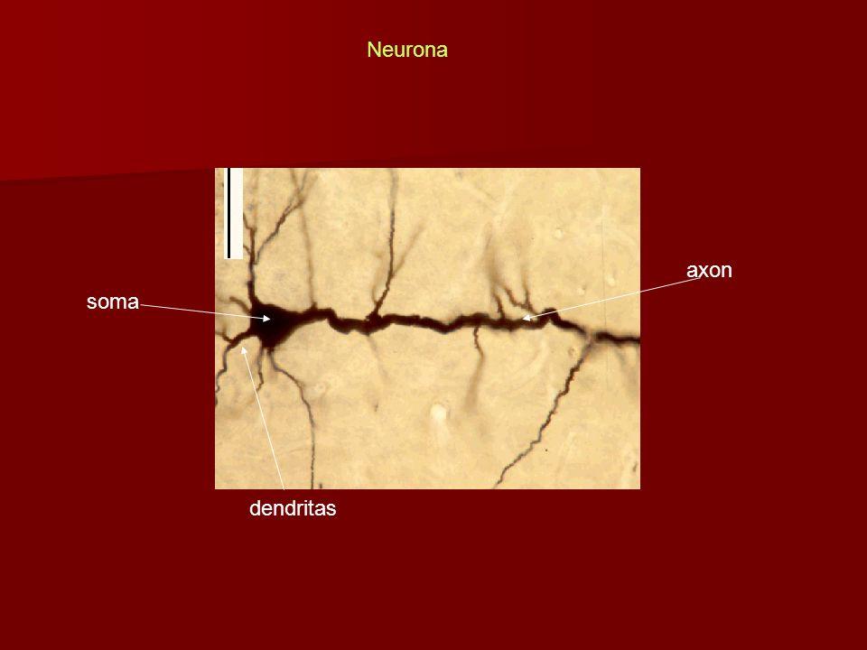 Neurona axon soma dendritas