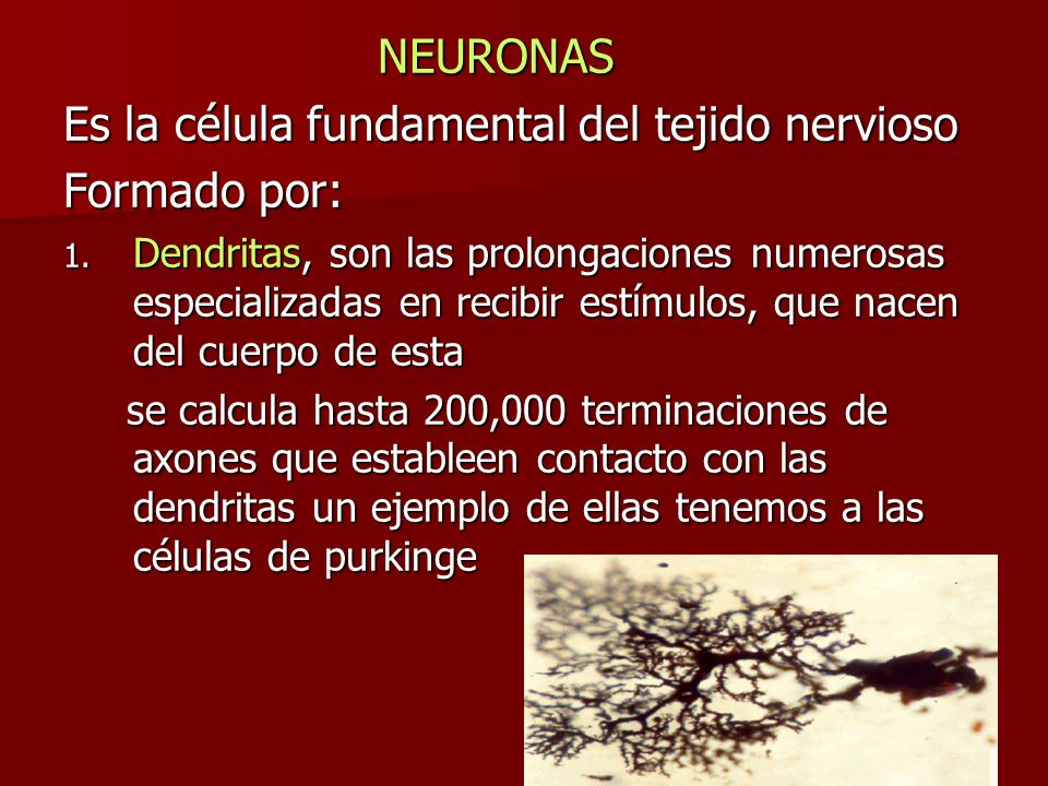 Es la célula fundamental del tejido nervioso Formado por: