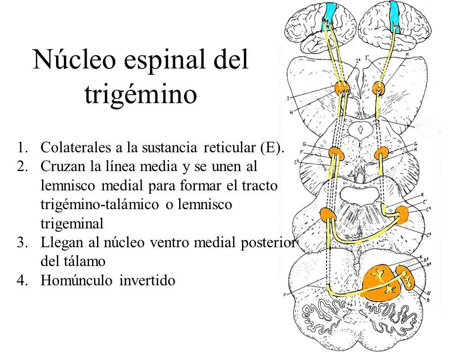 Núcleo espinal del trigémino