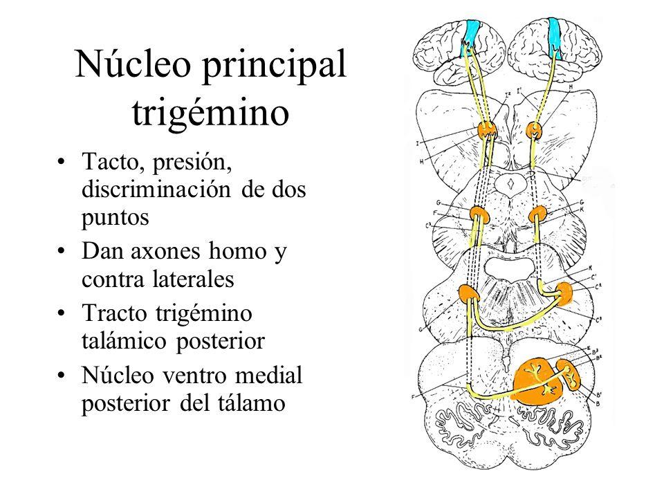 Núcleo principal trigémino