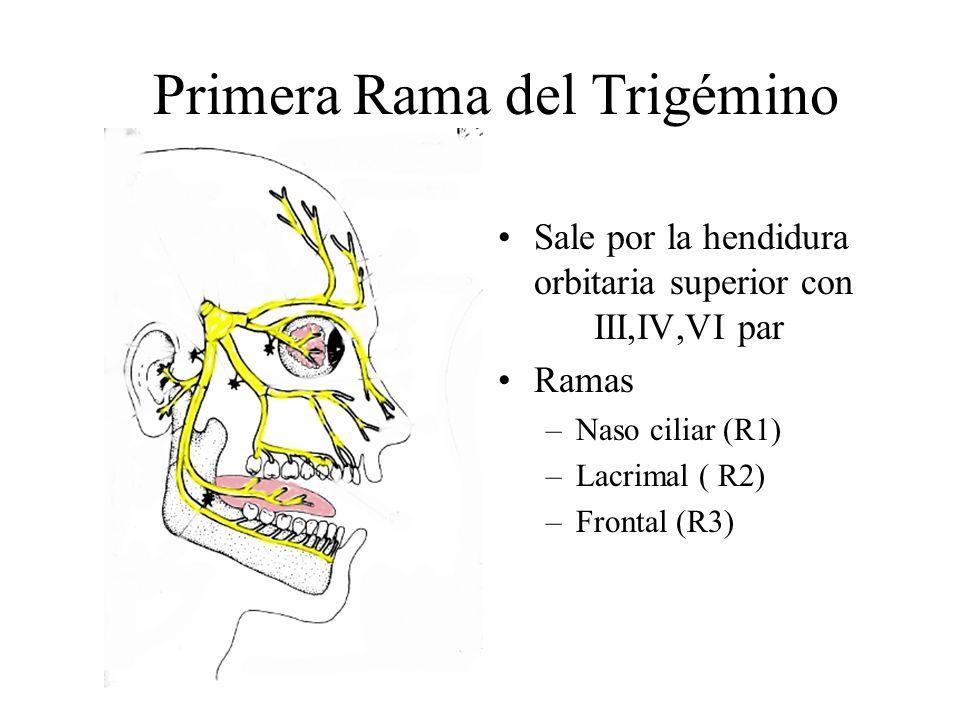 Primera Rama del Trigémino