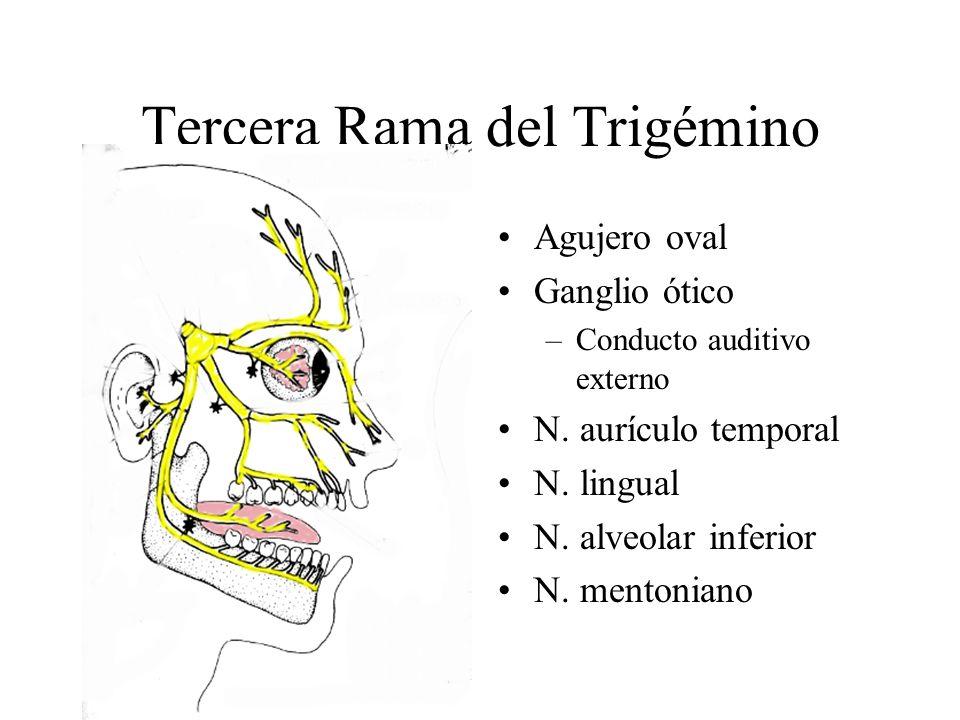 Tercera Rama del Trigémino