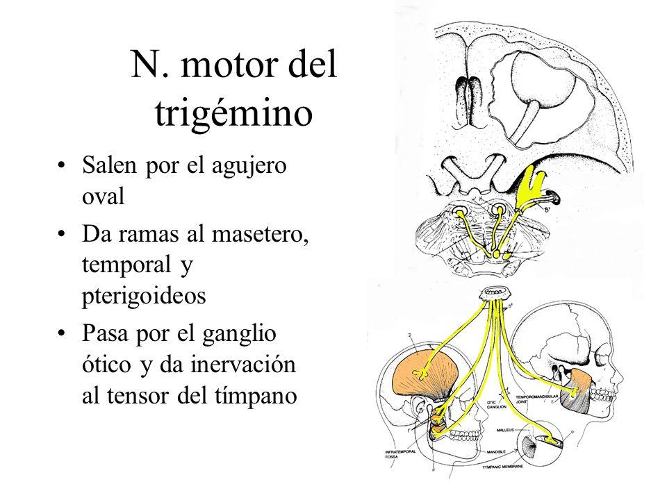 N. motor del trigémino Salen por el agujero oval