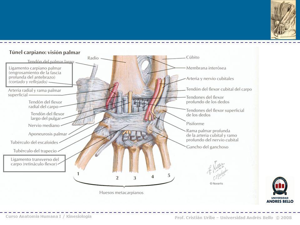 Único Palmar Fascia Anatomía Fotos - Imágenes de Anatomía Humana ...