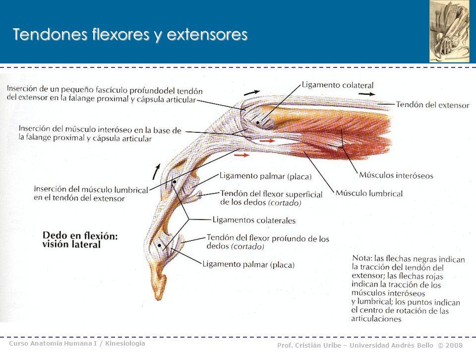 Moderno Tendones De Los Dedos Anatomía Colección de Imágenes ...