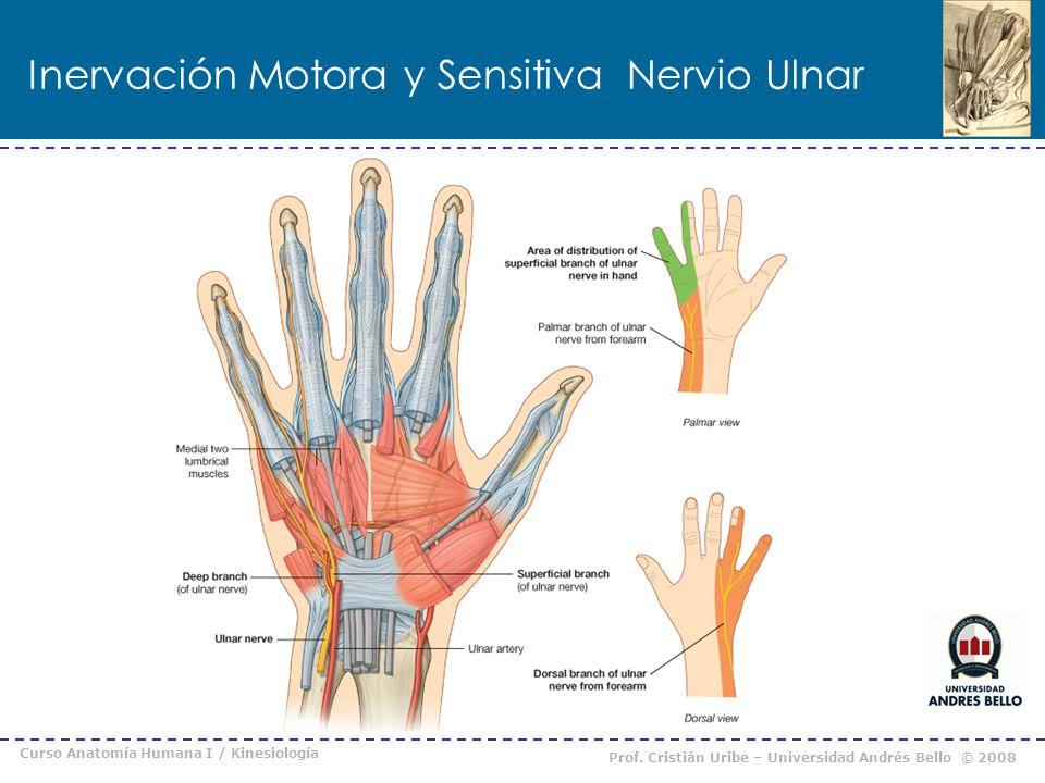 Encantador Cubital Ppt La Anatomía Del Nervio Fotos - Imágenes de ...