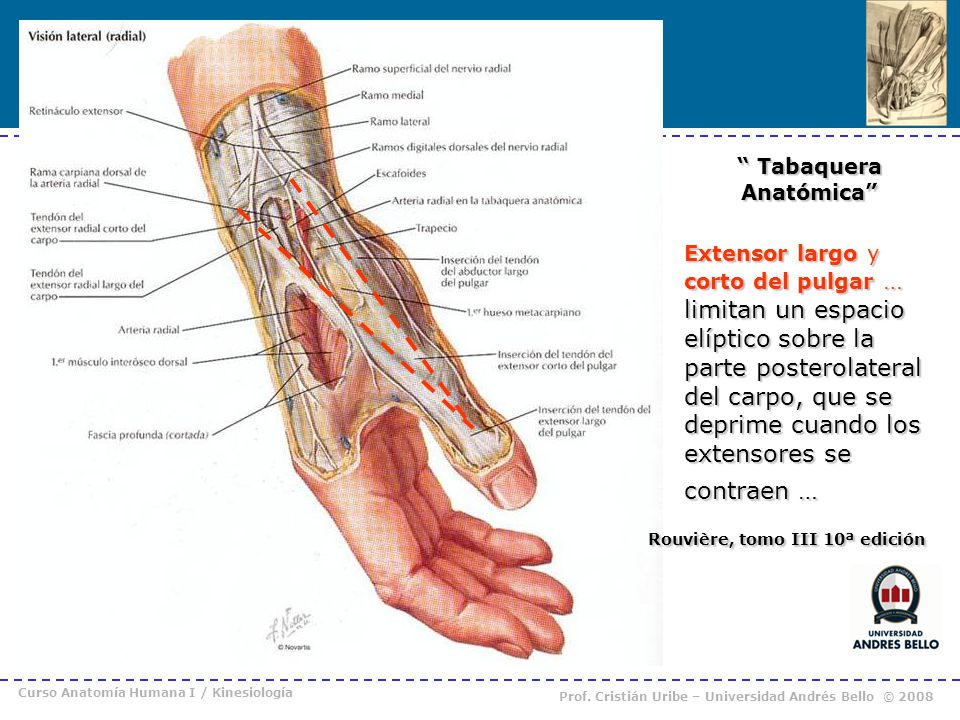 Moderno Huesos De La Anatomía Del Pulgar Imágenes - Anatomía de Las ...
