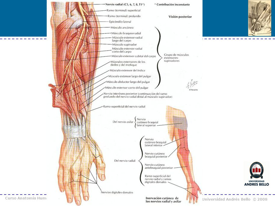 Hermosa Músculos Del Pulgar Anatomía Colección de Imágenes ...