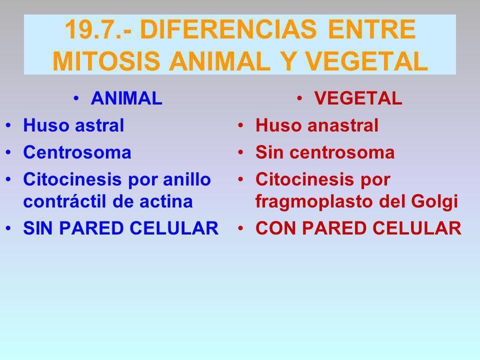 DIFERENCIAS ENTRE MITOSIS ANIMAL Y VEGETAL