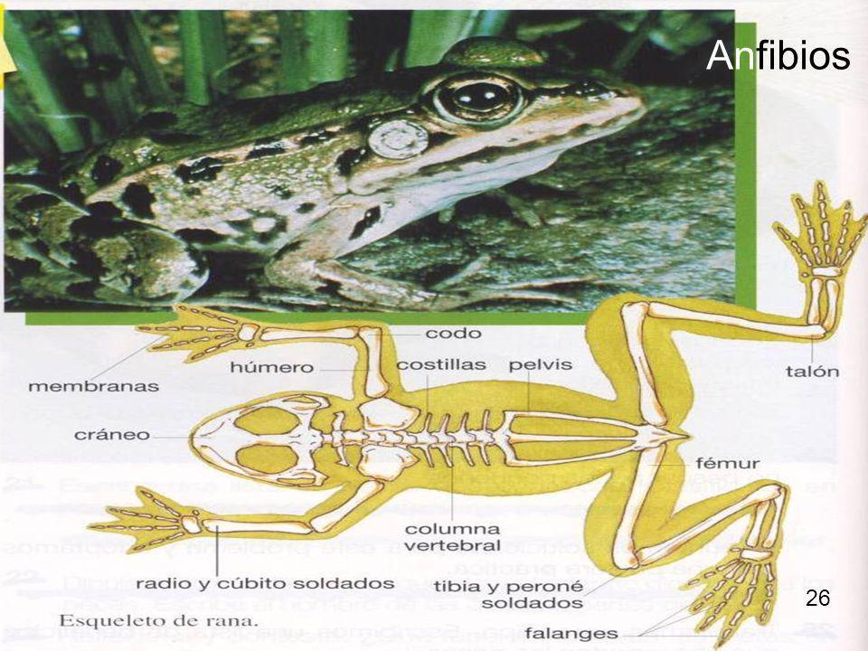 Anfibios 26