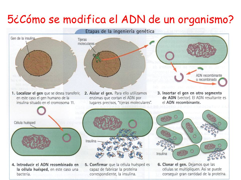 5¿Cómo se modifica el ADN de un organismo