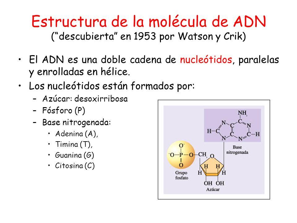 Estructura de la molécula de ADN ( descubierta en 1953 por Watson y Crik)