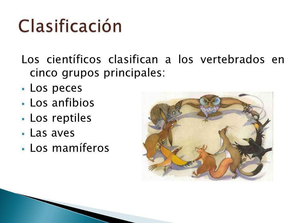 Clasificación Los científicos clasifican a los vertebrados en cinco grupos principales: Los peces.