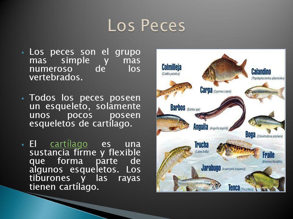 Los Peces Los peces son el grupo mas simple y mas numeroso de los vertebrados.