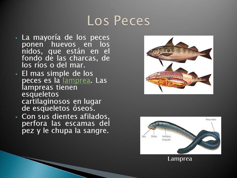 Los Peces La mayoría de los peces ponen huevos en los nidos, que están en el fondo de las charcas, de los ríos o del mar.