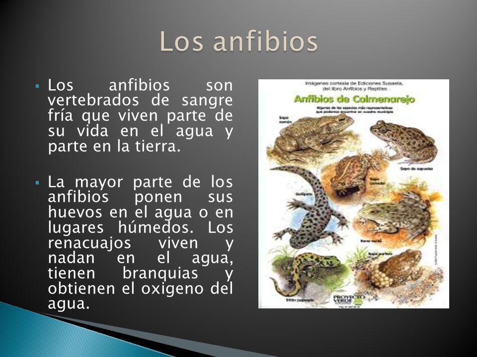Los anfibios Los anfibios son vertebrados de sangre fría que viven parte de su vida en el agua y parte en la tierra.