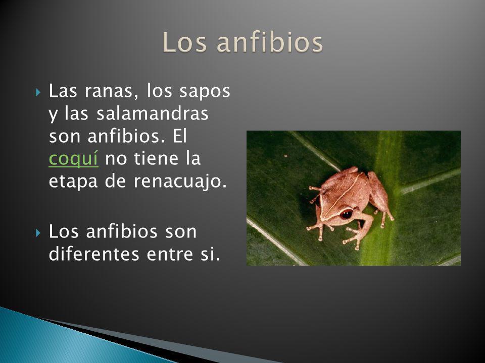 Los anfibios Las ranas, los sapos y las salamandras son anfibios. El coquí no tiene la etapa de renacuajo.