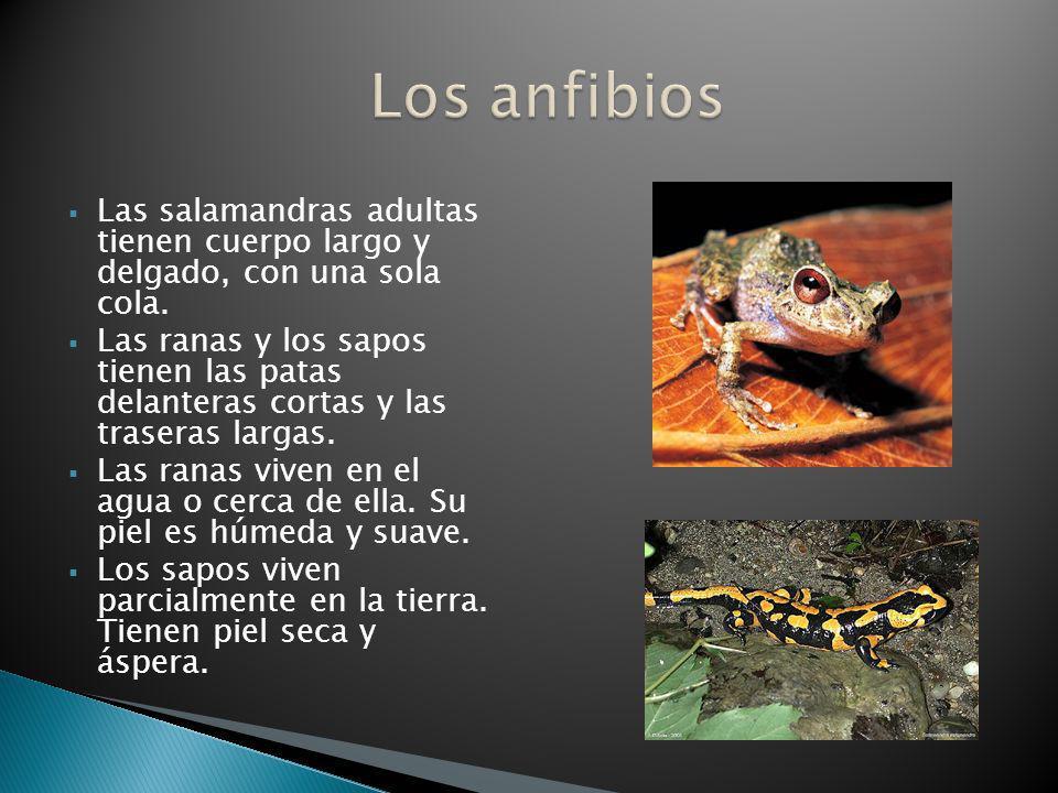 Los anfibios Las salamandras adultas tienen cuerpo largo y delgado, con una sola cola.