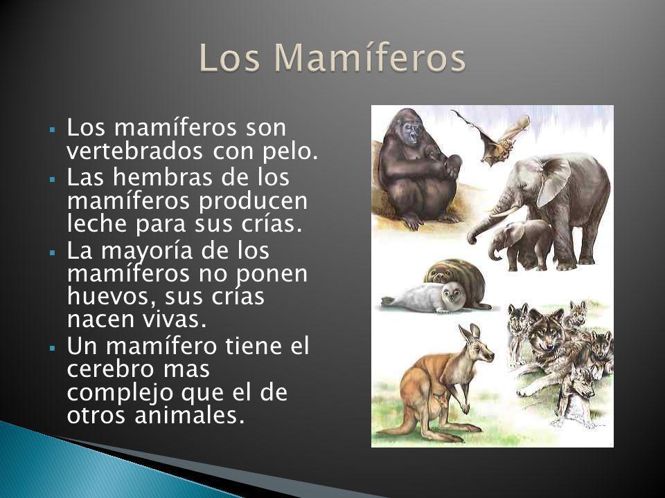 Los Mamíferos Los mamíferos son vertebrados con pelo.