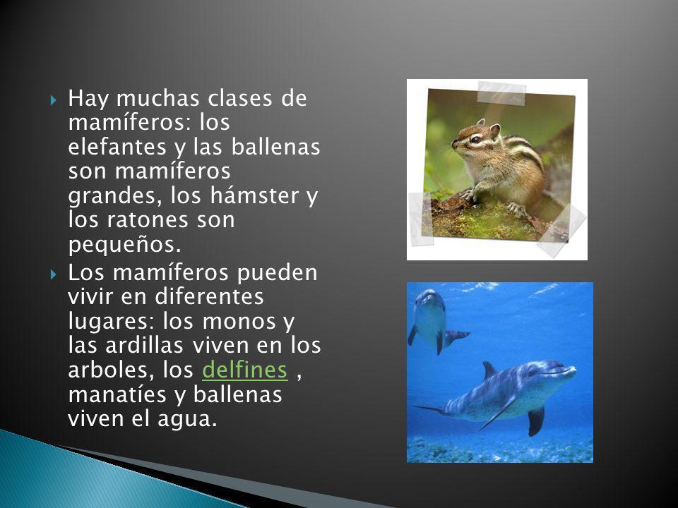 Hay muchas clases de mamíferos: los elefantes y las ballenas son mamíferos grandes, los hámster y los ratones son pequeños.