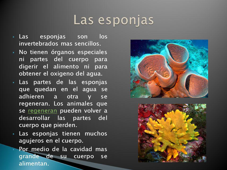 Las esponjas Las esponjas son los invertebrados mas sencillos.