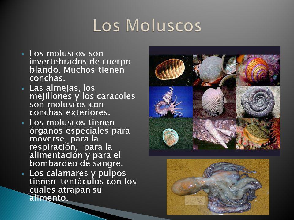 Los Moluscos Los moluscos son invertebrados de cuerpo blando. Muchos tienen conchas.