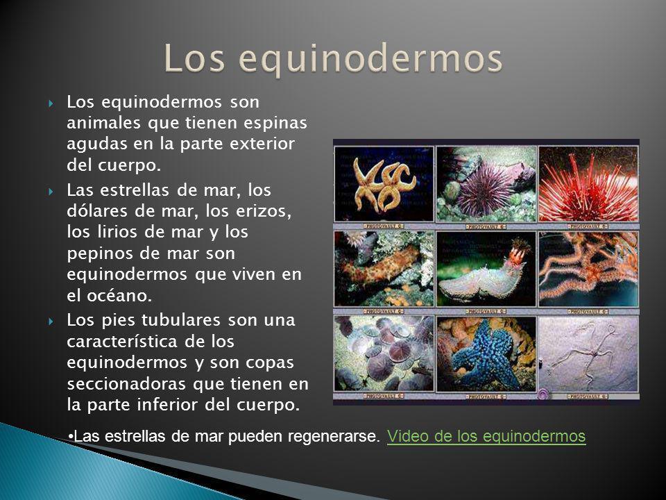Los equinodermos Los equinodermos son animales que tienen espinas agudas en la parte exterior del cuerpo.