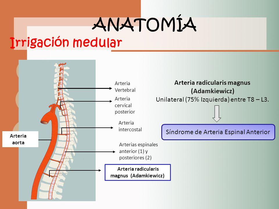 Vistoso Arteria De La Anatomía Adamkiewicz Imágenes - Imágenes de ...