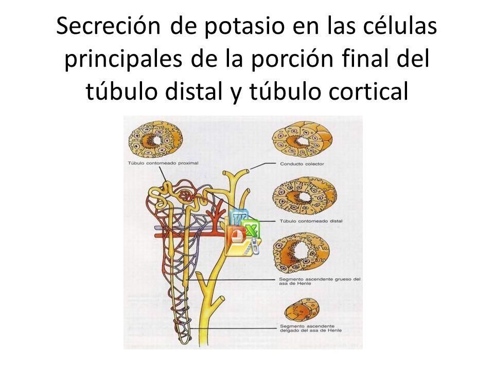 Secreción de potasio en las células principales de la porción final del túbulo distal y túbulo cortical