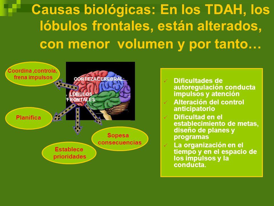 Causas biológicas: En los TDAH, los lóbulos frontales, están alterados, con menor volumen y por tanto…