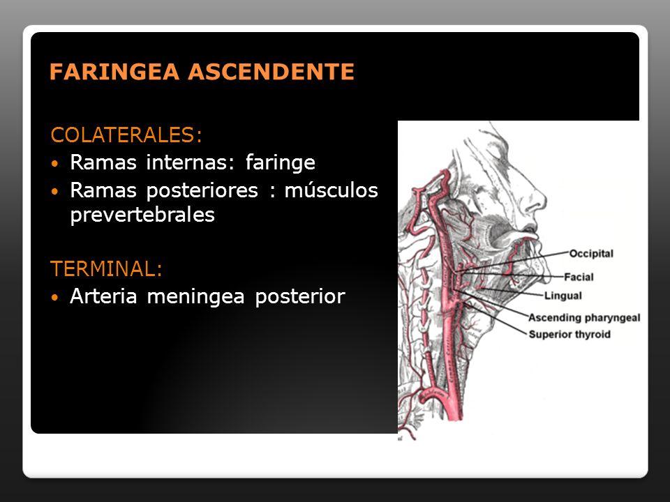 FARINGEA ASCENDENTE COLATERALES: Ramas internas: faringe