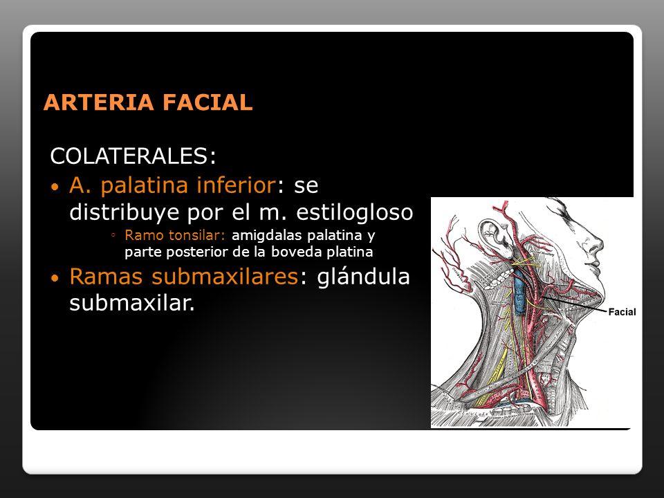 A. palatina inferior: se distribuye por el m. estilogloso