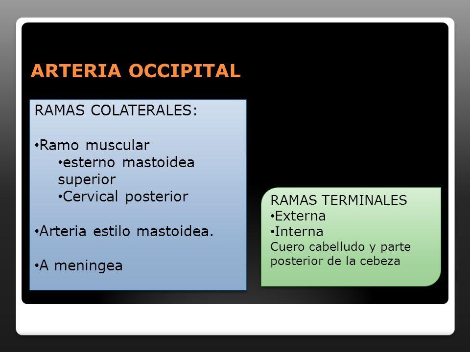 ARTERIA OCCIPITAL RAMAS COLATERALES: Ramo muscular