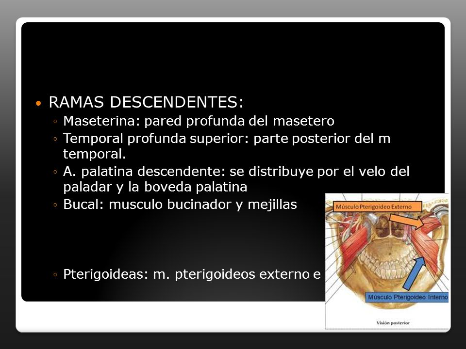 RAMAS DESCENDENTES: Maseterina: pared profunda del masetero