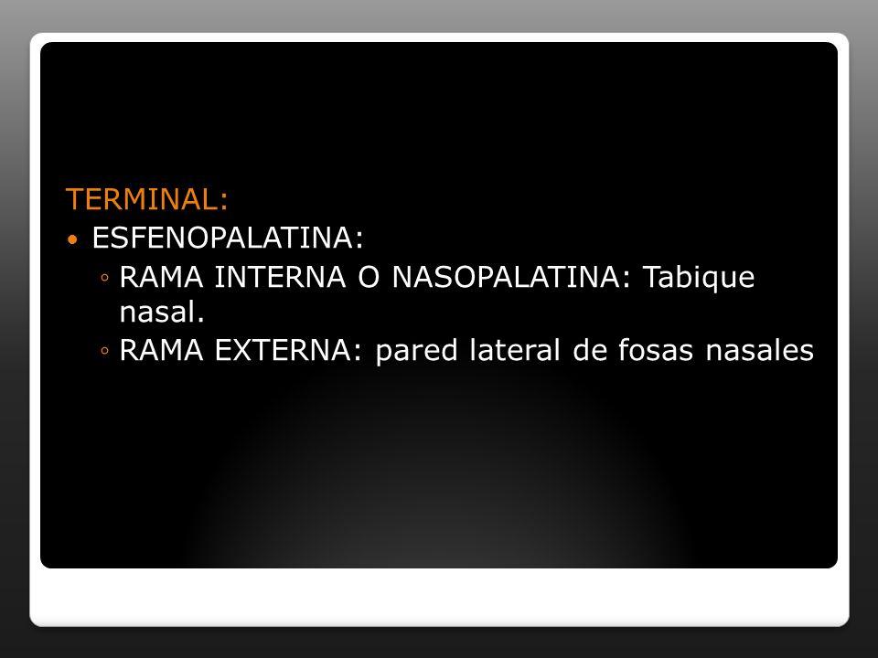 TERMINAL: ESFENOPALATINA: RAMA INTERNA O NASOPALATINA: Tabique nasal.