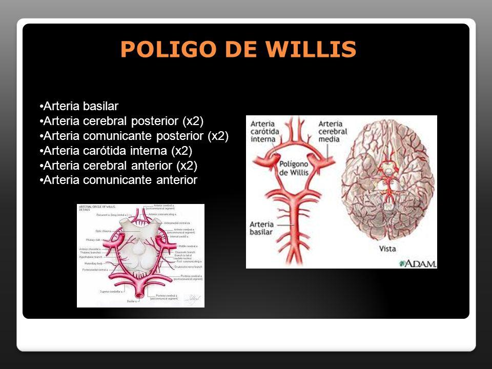 POLIGO DE WILLIS Arteria basilar Arteria cerebral posterior (x2)