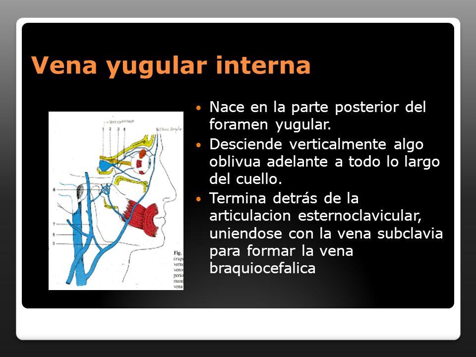 Vena yugular interna Nace en la parte posterior del foramen yugular.