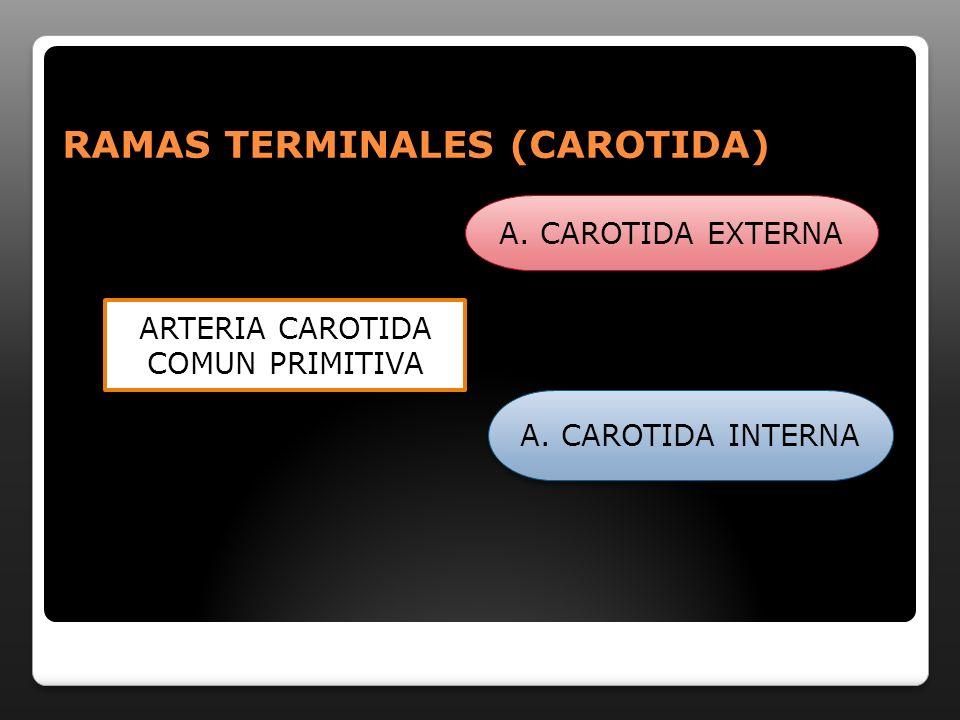 RAMAS TERMINALES (CAROTIDA)