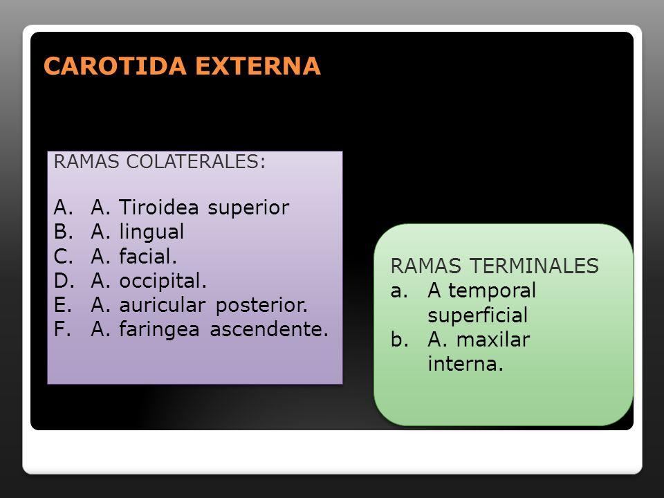 CAROTIDA EXTERNA A. Tiroidea superior A. lingual A. facial.